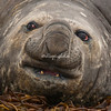 An Elephant Seal, Sea Lion Island