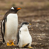 A Gentoo penguin with its juvenile chick, Sea Lion Island