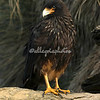 Striated Caracara, Sea Lion Island