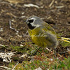 Black throated finch, Sea Lion Island