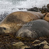 Two elephant seals in the tide, Sea Lion Island