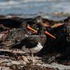 Magellanic oystercatchers