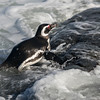 A Magellanic penguin scooting into the surf,Sea Lion Island.