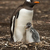 A Gentoo penguin with its young chick, Sea Lion Island