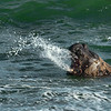 Elephant seal bellowing and expelling water, Sea Lion Island