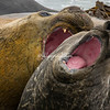 Two elephant seals sparring, Sea Lion Island