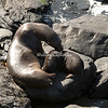 Southern Sea Lion and pup, Sea Lion Island