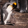 A King Penguin and chick, Volunteer Point