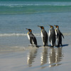 Falkland Islands A group of King Penguins strolling along the, beach at sunrise, Volunteer Point, East Falklands