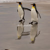 A pair of King Penguins strolling along the, beach at sunrise, Volunteer Point, East Falklands