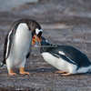 Falkland Islands Gentoo parent feeding chick, Volunteer Point, East Falklands