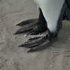 King Penguin feet, Volunteer Point