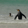 Falkland Islands A pair of King penguins swimming, Volunteer Point, East Falklands