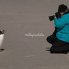 Photographing Gentoo Penguins, Volunteer Point