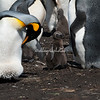King Penguin and chick, Volunteer Point