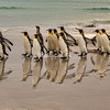 A group of King Penguins strolling along the, beach at sunrise, Volunteer Point, East Falklands