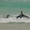 A pair of King penguins swimming, Volunteer Point, East Falklands