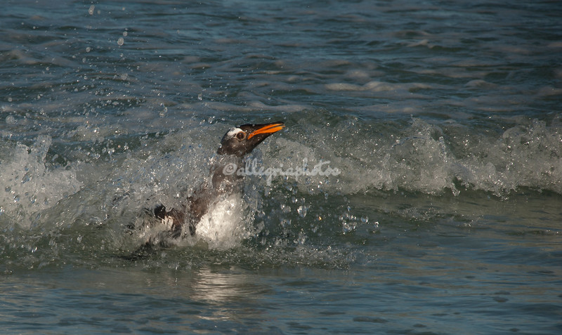 Gentoo Penguin surfing ashore, Volunteer Point