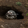 A juvenile Magellanic penguin in its burrow, Weddell Island