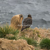 A southern sea lion and a striated caracara on Weddell Island, Falkland Islands