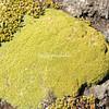 Balsam bog plant