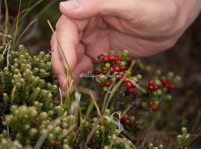 Diddle dee berries
