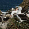 Black browed albatrosses