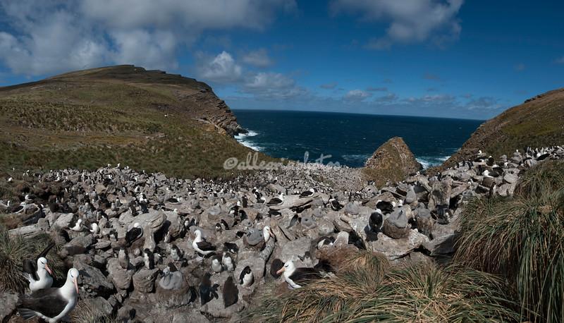 Rockhopper penguins and black browed albatross