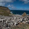 Rockhopper penguins and black browed albatross