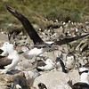 Black browed albatross and rockhopper penguines