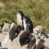 A creche of rockhopper penguins, West Point Island.