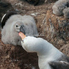 Black browed albatross and chick, West Point Island