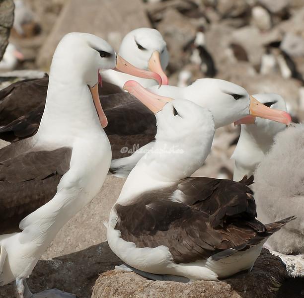 Black browed albatross