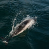 Commersons Dolphins