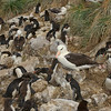 Black browed albatross and rockhopper penguins