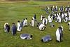 Colonie de manchots royaux à Volunteer Point/East Falkland/ Iles Falkland (Iles Malouines)