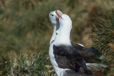 Black browed albatross courtship