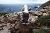 Albatros à sourcils noirs dans la colonie de West Point Island/ Iles Falkland (Iles Malouines)