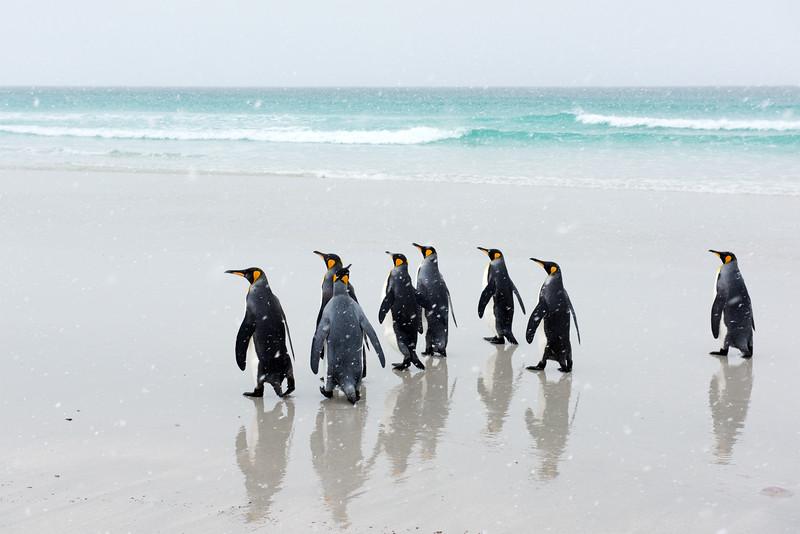 Groupe de manchots royaux sur la plage à Volunteer Point/East Falkland/ Iles Falkland (Iles Malouines)