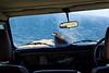 Un caracara austral juvénile sur le capot d'un Land Rover à West Point Island/ Iles Falkland (Iles Malouines)