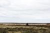 Un fermier en train de mener ses moutons avec un quad sur la lande d'East Falkland/ Iles Falkland (Iles Malouines)