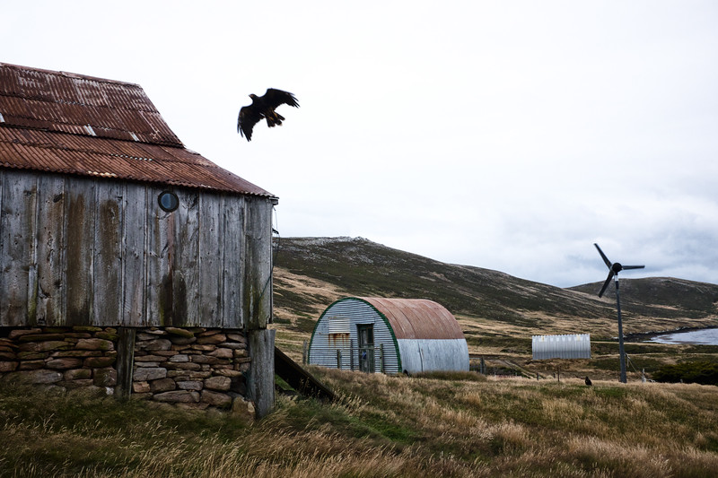 Un caracara austral en vol à Carcass Island/ Iles Falkland (Iles Malouines)