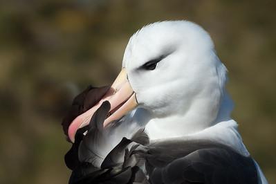 Black browed albatross preening