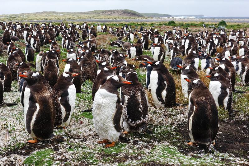 Colonie de manchots papous sur Sea Lion Island/ Iles Falkland (Iles Malouines)