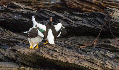 Kelp goose courtship