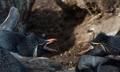 Rockhoppers squabbling