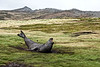 Elephant de mer dérangé par un oiseau. Carcass Island/ Iles Falkland (Iles Malouines)