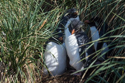 Rockhopper penguins among the tussock grass