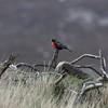 Long-tailed Meadowlark on Carcass Island