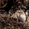 Endemic Cobb's Wren on Carcass Island